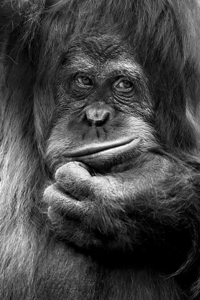 Foto de un Orangutan