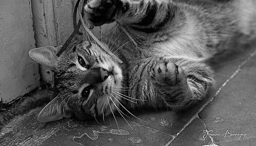 Gato_domestico