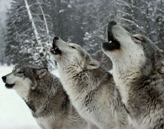 Three_howling