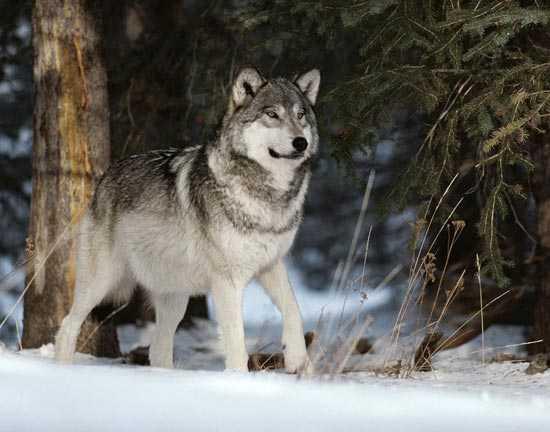 Wolf_snow
