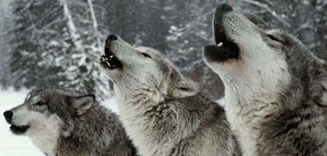 """La manada de lobos """"Sawtooth"""""""