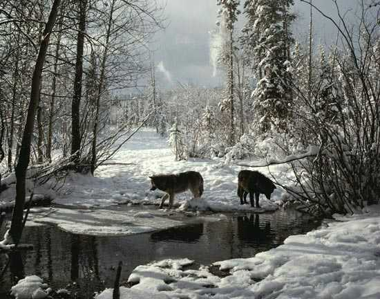 Wolves_snow
