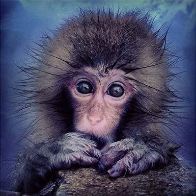Macaco_japones