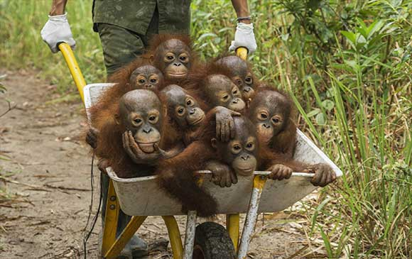 Tim-Laman-Orangutanes