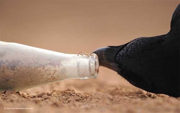 cuervo-botella